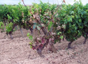 Vine affected by Yesca.